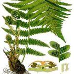 dryopteris_filix-mas_-_kohler-s_medizinal-pflanzen-202